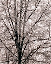 Image of Frost on Birch Tree, Anchorage, Alaska